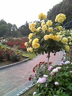 色とりどりの   薔薇の園