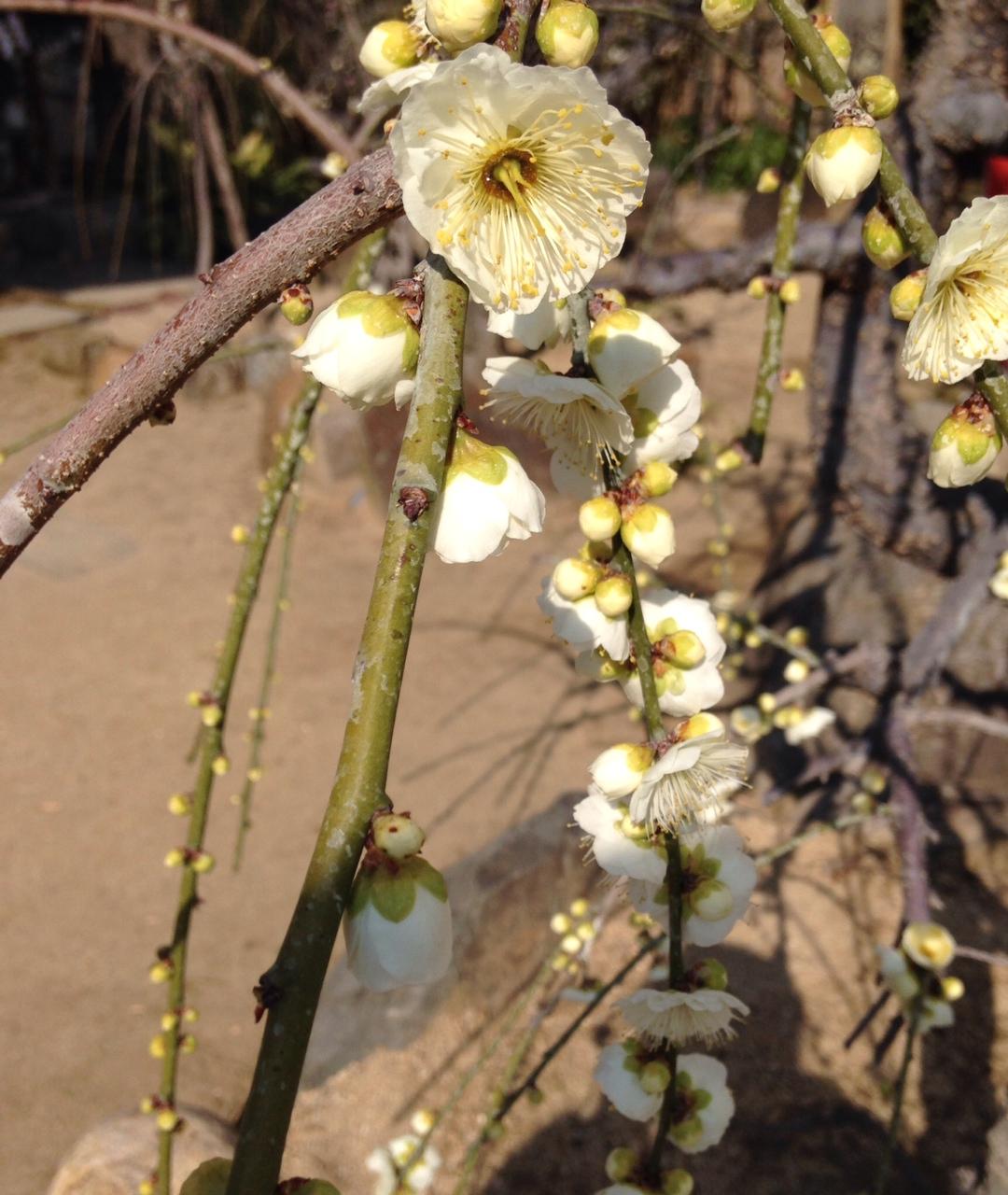 大阪北野天満宮の梅