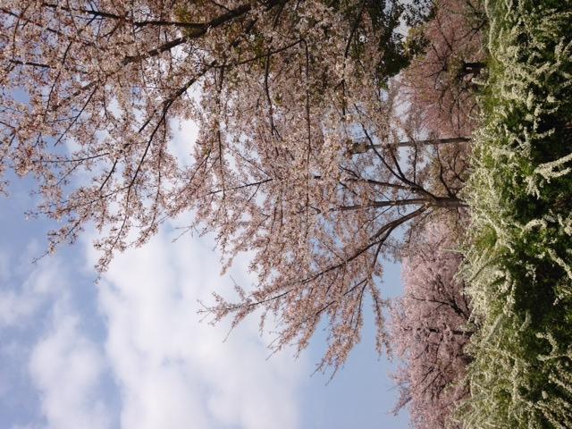 桜満開、大阪城にて